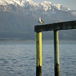 Stills_Photo_Tours-David_Still-New_Zealand-Seagull-2834
