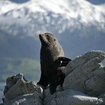 Stills_Photo_Tours-David_Still-New_Zealand-Seal-3079